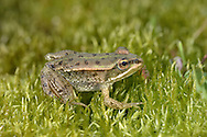 Pool Frog Pelophylax lessonae (L 5-6.5cm) Formerly considered thought of as a variation on the Edible Frog theme. However, now treated as genuine species. Widespread across N Europe. Previously native to Britain but driven to extinction. Re-introductions of Swedish animals appear to have been successful. It is a well marked animal with dark spots and a pale vertebral stripe. Males utter a duck-like quacking ou-Whack when courting.