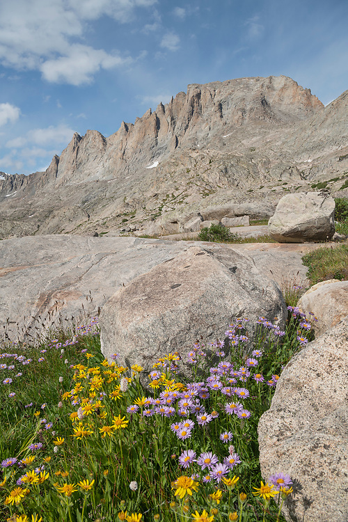 Titcomb Basin wildflowers composed of yellow Arnica and purple Asters, Bridger Wilderness, Wind River Range Wyoming