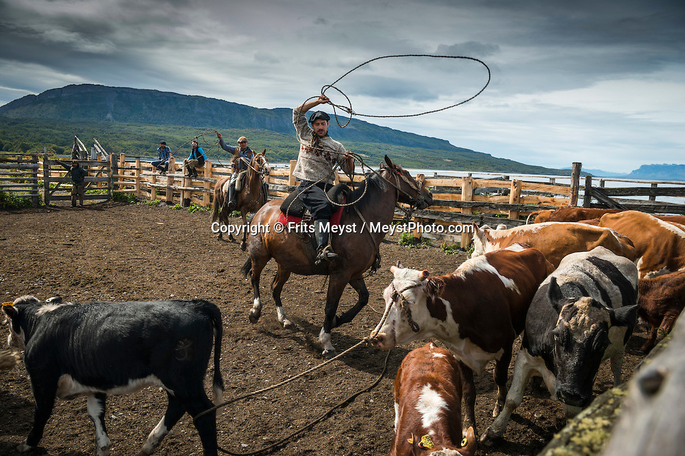 Puerto Natales, Magallanes, Patagonia, Chile, January 2016.  Under the leadership of Sebastián García Iglesias a team of Chilean 'bagualeros' cowboys roam the rain forest to round up feral cattle 'baguales'.  Estancia Mercedes is an active cattle ranch on Peninsula Antonio Varas owned by the pioneering Iglesias family that settled here in 1916. The estancia hosts guests for horseback riding tours at their Agroturismo. Photo by Frits Meyst / MeystPhoto.com