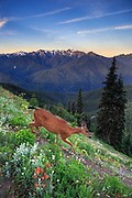 Blacktail dear navigates the steep hillsides at Hurricane Ridge, Olympic Mountain Range in the distance.