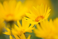 Balsalmroot (Balsamorhiza deltoidea) flowers