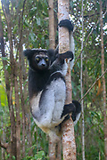 Milne-Edwards' sifaka (Propithecus edwardsi) Photographed in Madagascar