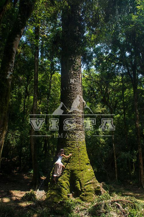 Araucaria de aproximadamente 700 anos no Parque Municipal do Pinheiro Grosso, Canela, Rio Grande do Sul, foto de Zé Paiva - Vista Imagens