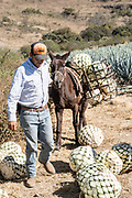A jimador leads his donkey carrying a load of blue agave pineapple-like cores during harvest in a field owned by the Siete Leguas tequila distillery in the Jalisco Highlands of Mexico. Siete Leguas is a family owned distillery crafting the finest tequila using the traditional process unchanged since for 65-years.