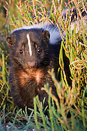 A striped skunk poses for a portrait in pickleweed growing along the San Francisco Bay