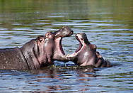 Hungry Hippos - Maasai Mara Game Reserve, Kenya, Africa Edition on 100 EXP0366