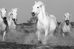 White horses of the Camargue ( Equus ferus caballus ) running through a lake, manes flying in the wind with water splashing motion blur, black and white, evening light,  Le Camargue, Provence, France