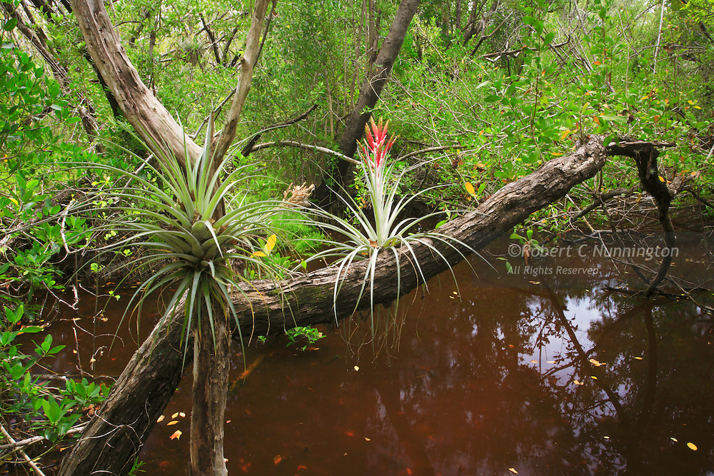 Springtime in the Everglades brings forth spectacular growth of semi-tropical species plant species such as bromeliads