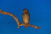 Owl, Kwando Concession, Linyanti Marshes, Botswana.