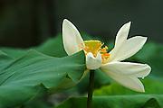 blossoming pink Sacred Lotus flower (Nelumbo nucifera)