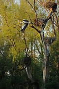 Stork nests and flying stork near the river March in Austria | Storchen Nester und fliegender Storch in der nähe des Flusses March in Österreich