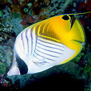 Threadfin Butterflyfish inhabit reefs. Picture taken Maldives.