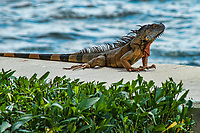 Iguana (posing), Miami