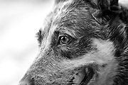 A close-up of the eyes and head of a Blue Heeler, or Australian Cattle Dog, Tucson, Arizona, USA.
