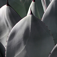 Close-up of an agave plant.