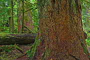 A_Vancouver Island & Gulf Islands. Old growth temperate rain forest in Cathedral Grove<br /> McMillan Provincial Park (Cathedral Grove)<br /> British Columbia<br /> Canada