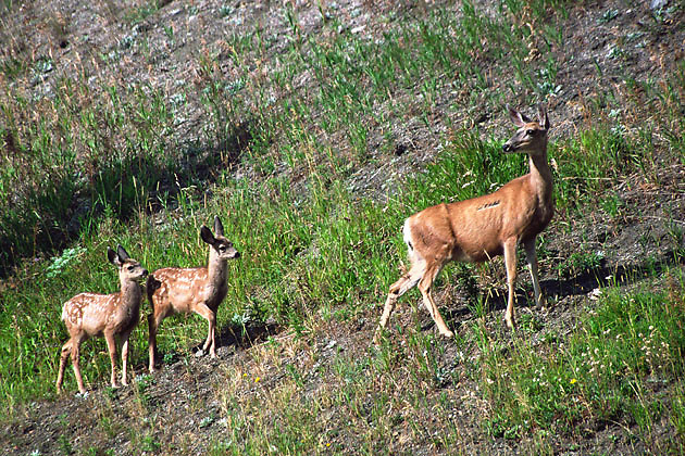 doe and two spotted fawns following on hillside; white tail deer; Lewis & Clark National Forest; Montana
