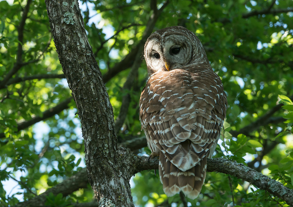 Barred Owl (Strix varia), White Rock Lake, Dallas, Texas