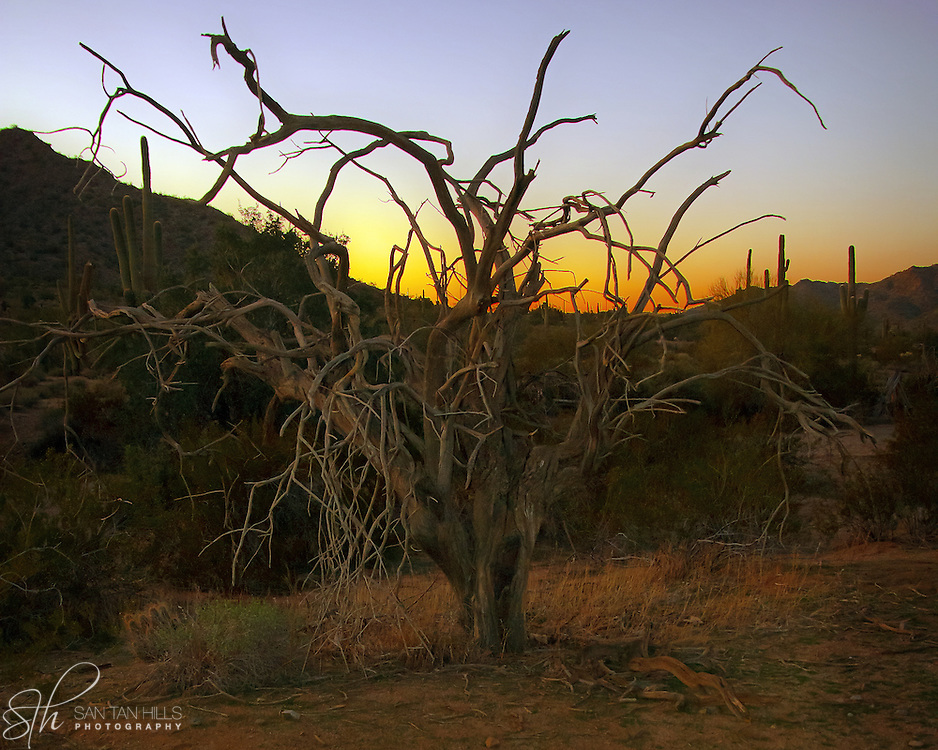 Tree in San Tan Regional Park at sunset - Queen Creek, AZ