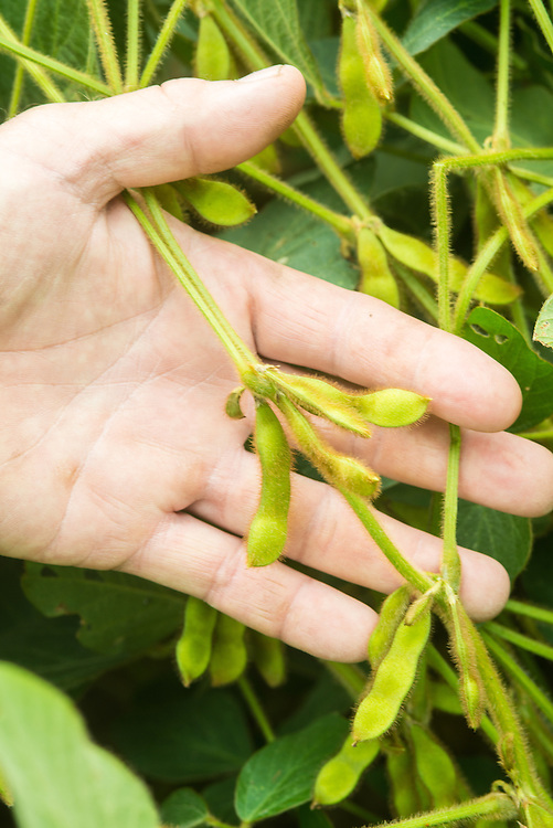 close up of soybeans growing in field with hand<br /> Woodbine MD
