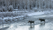 Well before sunrise, two moose cows make their way across the icy waters of the Gros Ventre River. With temperatures below zero, hoarfrost formed overnight on the willows and cottonwoods along the river's edge, giving an ethereal look to the scene. Hoarfrost doesn't last long and in this instance it vanished once the sun began heating the frozen landscape.