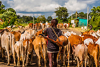 Cattle being herded, Omo Valley, Ethiopia.