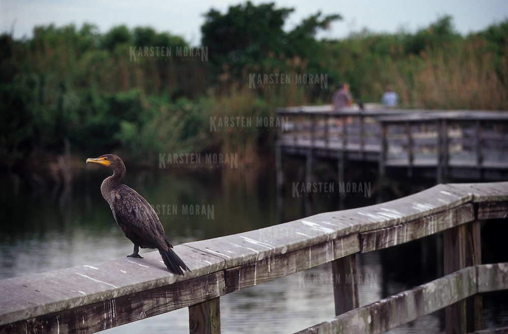 An anhinga (bird) sits on a boardwalk railing in Everglades National Park, Florida, USA.