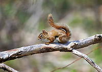 Red Squirrel (Tamiasciurus hudsonicus) perched in a tree, French Basin trail, Annapolis Royal, Nova Scotia, Canada,