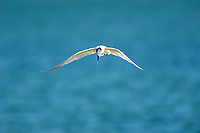 Sandwich Tern, (Thalasseus sandvicensis)in flight, between Fort Myers and Sanibel Island, Florida, USA