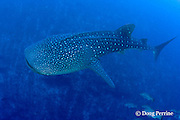 along the reef drop-off, at a depth of 175 feet, a whale shark, Rhincodon typus, cruises below a spawning aggregation of cubera snappers, Lutjanus cyanopterus<br /> Gladden Spit &amp; Silk Cayes Marine Reserve, off Placencia, Belize, Central America ( Caribbean Sea )