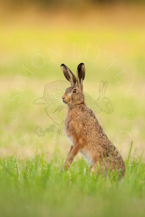 European Hare (Lepus europaeus) adult, standing on hind legs in meadow, Norfolk, UK.