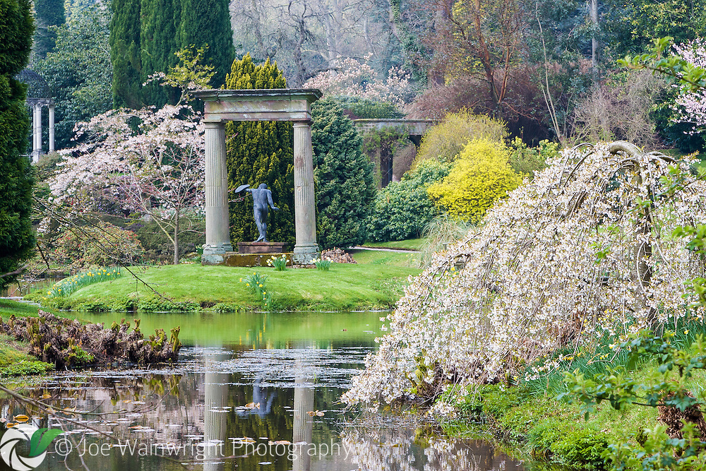 Cherries bloom beside the lake in the Temple Garden at Cholmondeley Castle - photographed in April.