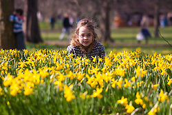 London, March 6th 2015. Londoners and tourists enjoy the warm sunshine in St James's Park as daffodils bloom, heralding the approach of spring. PICTURED: Seven-year-old Stella crouches amongst the daffodils during a game of hide-and-seek with her brother Rowan.