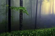 Misty beech forest at springtime