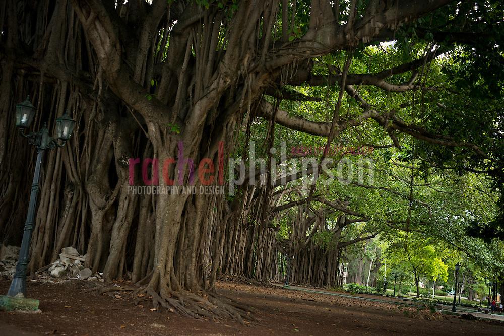 Cuba, Ficus tree