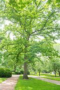 White Oak, Tree Tour, Mapp Athens, college green