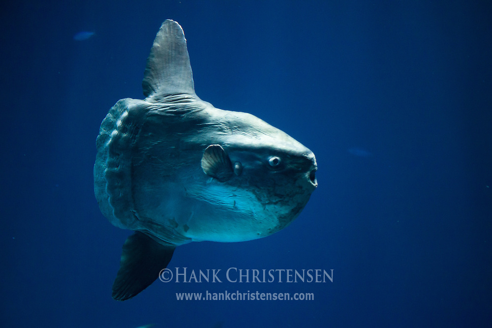 An enormous ocean sunfish swims in a large tank at the Monterey Bay Aquarium.  The sunfish is the heaviest known bony fish in the world, with an average weight of 2200 pounds.  The largest specimens can be over 10 feet in length, 14 feet across the fins, and weigh up to 5100 pounds.