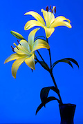 yellow Lily flower seen against a bright blue background