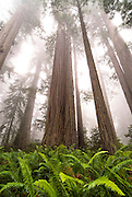 The trees in Redwood National Park in Northern California reach for the sky on a misty day.