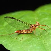 Adult mayfly (Ephemeroptera). Mayflies or shadflies are insects belonging to the order Ephemeroptera.