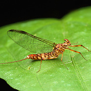 Adult mayfly (Ephemeroptera). Mayflies or shadflies are insects belonging to the order Ephemeroptera.