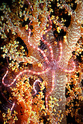 UNDERWATER MARINE LIFE WEST PACIFIC, generic brittlestar entwined on soft coral Ophiothrix sp.