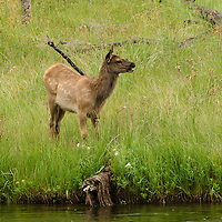 A young Elk next to a stream in Yellowstone National Park.