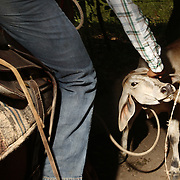 "A cowboy undoes the rope around a calf's neck after he lassoed it at a competition in San Carlos, near Boquete, Panama, on February 11, 2007. In the competition, each heat features one town's team versus another in a tournament bracket style. The speed of the calf's capture determines points.  ..""Undo"""