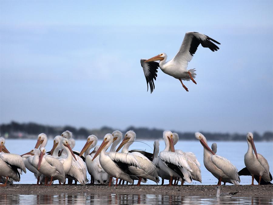 White Pelicans & White Pelican flying Sebastian Florida