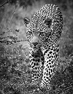 A beautiful male leopard (panthera pardus)walking on my direction in the deep vegetation of Chobe National Park, Botswana, Africa.<br /> Photo credit by: &copy;Claudio Zamagni