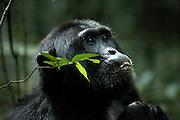 Tracking Chimpanzees in Kibale national Park. Uganda, Africa.