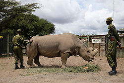 NANYUKI, April 29, 2016 (Xinhua) -- Sudan, the last male of remaining known northern white rhinos in the world, eats plants in central Kenya's Ol Pejeta Wildlife Conservancy, on April 28, 2016. Sudan is the last male northern white rhino in the world and living in Kenya's Ol Pejeta conservancy. A team of armed rangers take turns guarding the mammal day and night.?At the age of 43,?Sudan?is too old to mate as the mammal usually has a life expectancy of 40 years in wild, and maybe a little longer in captivity. (Xinhua/Pan Siwei) (lyi) (Credit Image: © Xinhua via ZUMA Wire)