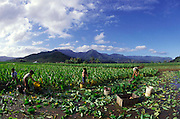 Taro Farm, Hanalei, Kauai, Hawaii (editorial use only, no model release)<br />