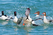 Common Mergansers, Mergus merganser, feeding on Gizzard Shad, Dorosoma cepedianum, Detroit River, Ontario, Canada